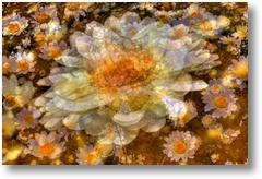 549374 csp daisy dream