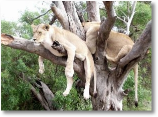 912288 lions in a tree